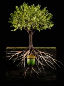 oak acorn roots